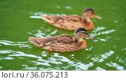Zwei Enten schwimmen auf einem See in einem Park in Magdeburg. Стоковое фото, фотограф Zoonar.com/HEIKO KUEVERLING / easy Fotostock / Фотобанк Лори