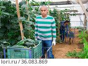 Horticulturist carrying handcart with crop of cucumbers in greenhouse. Стоковое фото, фотограф Яков Филимонов / Фотобанк Лори