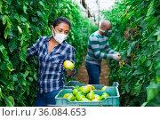 Farmer couple in protective mask working in greenhouse. Стоковое фото, фотограф Яков Филимонов / Фотобанк Лори