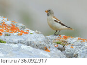 White-winged snowfinch (Montifringilla nivalis), Picos de Europa, Northern Spain. August. Стоковое фото, фотограф Andres M. Dominguez / Nature Picture Library / Фотобанк Лори