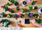 Top view of a gardener is transplanting a flower in a pot. Next to... Стоковое фото, фотограф Zoonar.com/OKSANA SHUFRYCH / easy Fotostock / Фотобанк Лори