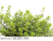 Thymus citriodorus AKA lemon thyme, isolated on white background. Стоковое фото, фотограф Tamara Kulikova / Фотобанк Лори