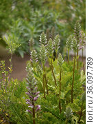 Flora of Gran Canaria - Acanthus mollis, bear's breeches plant introduced to the Canary islands, natural macro floral background. Стоковое фото, фотограф Tamara Kulikova / Фотобанк Лори