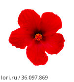 Beautiful deep red Hibiscus rosa-sinensis aka Chinese hibiscus isolated on white background. Стоковое фото, фотограф Tamara Kulikova / Фотобанк Лори
