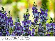 Blooming blue perennial Angelonia (Latin - Angelonia) Стоковое фото, фотограф Irina Opachevsky / Фотобанк Лори