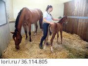 """Gestuet Graditz, groom taking care of a foal in the box"" (2020 год). Редакционное фото, агентство Caro Photoagency / Фотобанк Лори"