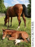 """Gestuet Graditz, foal dozing next to its mother in the grass"" (2020 год). Редакционное фото, агентство Caro Photoagency / Фотобанк Лори"
