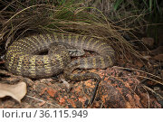 Rough-scaled death adder (Acanthophis rugosus), slightly inflated to show bright defensive colours hidden between scales, Cox Peninsula, Northern Territory, Australia, November. Стоковое фото, фотограф Etienne Littlefair / Nature Picture Library / Фотобанк Лори