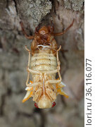 Periodical cicada (Magicicada septendecim) 17-year periodical cicada. Larva molting with teneral adult emerging. Brood X cicada,Maryland, USA, June 2021. Стоковое фото, фотограф John Cancalosi / Nature Picture Library / Фотобанк Лори