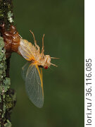 17 year Periodical cicada (Magicicada septendecim) larva molting with teneral adult emerging. However emergence stopped due to cold weather, adult unable... Стоковое фото, фотограф John Cancalosi / Nature Picture Library / Фотобанк Лори