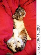 Ein entspannter, schlafender Kater (Felis silvestris f. catus) Стоковое фото, фотограф Zoonar.com/Stefan Ziese / age Fotostock / Фотобанк Лори
