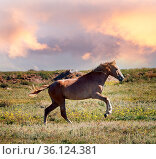 Steppe Tatar horses with traditionally clipped tails. A young Mare... Стоковое фото, фотограф Zoonar.com/Maximilian Buzun / easy Fotostock / Фотобанк Лори