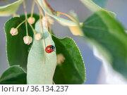 ladybug sits on a leaf of a blossoming linden tree. Стоковое фото, фотограф Анна Майорова / Фотобанк Лори