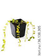 Барвинок - вечнозеленое декоративное растение в горшке на белом фоне. Стоковое фото, фотограф V.Ivantsov / Фотобанк Лори