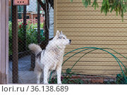 Husky pet dog guards the house in the yard behind the fence in summer. Стоковое фото, фотограф Светлана Евграфова / Фотобанк Лори