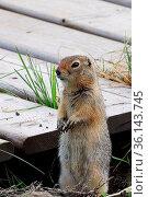 Side view of a ground squirrel sitting beside a boardwalk. Стоковое фото, фотограф Zoonar.com/Amelia Martin/akchamczuk / easy Fotostock / Фотобанк Лори
