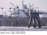 Eurasian wigeon (Mareca penelope) flock in flight with industrial landscape of Teeside behind. Durham, UK. October. Стоковое фото, фотограф Oscar Dewhurst / Nature Picture Library / Фотобанк Лори