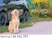 A young cute shaggy dog, a pet of the wheaten terrier breed howling barking sits near a car in the village outdoors in summer. Стоковое фото, фотограф Светлана Евграфова / Фотобанк Лори