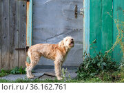 A young cute shaggy dog, a pet of the wheaten terrier breed howling barking stands near the gate of the fence door in the village outdoors in summer. Стоковое фото, фотограф Светлана Евграфова / Фотобанк Лори