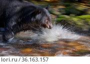 Black bear (Ursus americanus) hunting migrating salmon, The Great Bear Rainforest, British Columbia, Canada. September. Стоковое фото, фотограф Jack Dykinga / Nature Picture Library / Фотобанк Лори