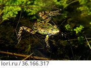 Seefrosch, Pelophylax ridibundus, Ranidae, Frosch, Amphibie, Tier... Стоковое фото, фотограф R. Kunz / age Fotostock / Фотобанк Лори