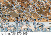 Snow geese (Chen caerulescens) lifting at dawn. Bosque del Apache National Wldlife Refuge, New Mexico. Стоковое фото, фотограф Jack Dykinga / Nature Picture Library / Фотобанк Лори