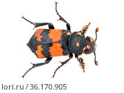 Sexton / Burying Beetle (Nicrophorus investigator) photographed on a white background in mobile field studio. This species feeds on carrion. A small vertebrate... Стоковое фото, фотограф Alex Hyde / Nature Picture Library / Фотобанк Лори