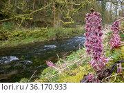 Butterbur (Petasites hybridus) in flower on river bank, Lathkill Dale, Peak District National Park, Derbyshire, UK. March. Стоковое фото, фотограф Alex Hyde / Nature Picture Library / Фотобанк Лори