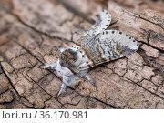 Sallow kitten moth (Furcula furcula), Peak District National Park, Derbyshire, UK. August. Focus stacke image. Стоковое фото, фотограф Alex Hyde / Nature Picture Library / Фотобанк Лори