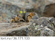 Least chipmunk (Neotamias minimus) is the smallest member of the chipmunk... Стоковое фото, фотограф George Sanker / Nature Picture Library / Фотобанк Лори