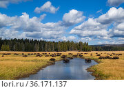 American buffalo (Bison bison) herd. crossing river, Yellowstone National Park, Wyoming, USA. Стоковое фото, фотограф George Sanker / Nature Picture Library / Фотобанк Лори