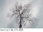 Высокая одинокая береза без листвы на фоне пасмурного неба. Стоковое фото, фотограф Sergei Gorin / Фотобанк Лори