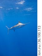 Blue marlin (Makaira nigricans) Vava'u, Kingdom of Tonga, South Pacific. Стоковое фото, фотограф Doug Perrine / Nature Picture Library / Фотобанк Лори