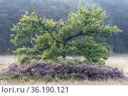 Oak (Quercus robur) and Heather (Camunna vulgaris) , Klein Schietveld, Brasschaat, Belgium. Стоковое фото, фотограф Bernard Castelein / Nature Picture Library / Фотобанк Лори