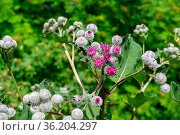 Burdock flowers on natural plant background. Стоковое фото, фотограф Евгений Харитонов / Фотобанк Лори