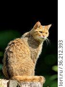 Europäische Wildkatze. Стоковое фото, фотограф Zoonar.com/JUERGEN_LANDSHOEFT / easy Fotostock / Фотобанк Лори