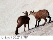 Young chamois (Rupicapra rupicapra) playing in the snow ,Vosges Mountains... Стоковое фото, фотограф Zoonar.com/Frank Fichtmüller / age Fotostock / Фотобанк Лори