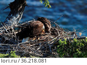 Adult Bald Eagle with two chicks in a nest in a tree on the side ... Стоковое фото, фотограф Zoonar.com/Frank Fichtmüller / age Fotostock / Фотобанк Лори