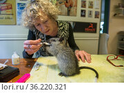 Wildlife carer Margit Cianelli feeding Black-footed tree-rat / Djintamoonga... Стоковое фото, фотограф Jurgen Freund / Nature Picture Library / Фотобанк Лори