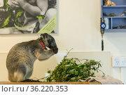Lumholtz kangaroo (Dendrolagus lumholtzi) juvenile with radio collar... Стоковое фото, фотограф Jurgen Freund / Nature Picture Library / Фотобанк Лори