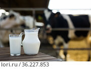 jug and glass of milk on table against background of cows. Стоковое фото, фотограф Татьяна Яцевич / Фотобанк Лори