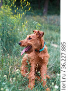 Young serious puppy dog purebred Irish Terrier redhead breed sits in the grass in summer outdoors in nature in tick season. Стоковое фото, фотограф Светлана Евграфова / Фотобанк Лори