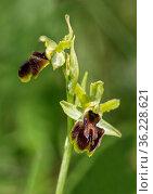 Blüte der Spinnen-Ragwurz (Ophrys aranifera), Schweiz / Flower of... Стоковое фото, фотограф Zoonar.com/Georg / age Fotostock / Фотобанк Лори