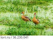 Zwei Enten im sumpfigen Wasser in Kenia in Afrika. two ducks in Moody... Стоковое фото, фотограф Zoonar.com/Christine Nöh / easy Fotostock / Фотобанк Лори