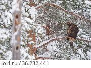 Golden eagle (Aquila chrysaetos) perched in tree in snow, Vitbergets Nature Reserve, Vasterbotten, Sweden. Стоковое фото, фотограф Staffan Widstrand / Nature Picture Library / Фотобанк Лори