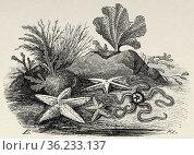 Starfish. Old 19th century engraved illustration from El Mundo Ilustrado... Редакционное фото, фотограф Jerónimo Alba / age Fotostock / Фотобанк Лори
