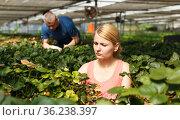 Woman with man cultivating strawberry. Стоковое фото, фотограф Яков Филимонов / Фотобанк Лори