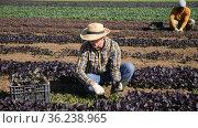 Group of farm workers picking harvest of organic red canonigos leaf to crates on plantation. Стоковое видео, видеограф Яков Филимонов / Фотобанк Лори