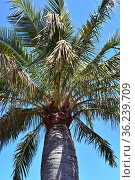 Palma chilena (Jubaea chilensis) is a palm endemic to central Chile... Стоковое фото, фотограф J M Barres / age Fotostock / Фотобанк Лори