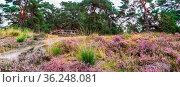 Picnic bench between purple blooming heather in Nature park Veluwe... Стоковое фото, фотограф Zoonar.com/Hilda Weges / easy Fotostock / Фотобанк Лори